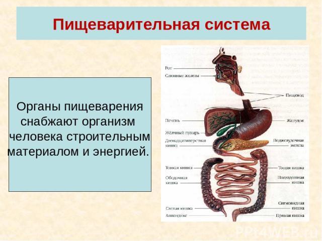 Пищеварительная система Органы пищеварения снабжают организм человека строительным материалом и энергией.