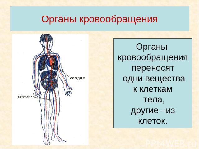 Органы кровообращения Органы кровообращения переносят одни вещества к клеткам тела, другие –из клеток.
