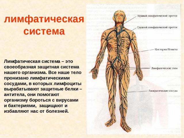 лимфатическая система Лимфатическая система – это своеобразная защитная система нашего организма. Все наше тело пронизано лимфатическими сосудами, в которых лимфоциты вырабатывают защитные белки – антитела, они помогают организму бороться с вирусами…