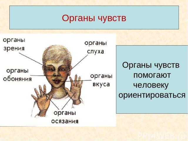 Органы чувств Органы чувств помогают человеку ориентироваться