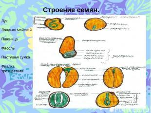 Строение семян. Лук Ландыш майский Пшеница Фасоль Пастушья сумка Фиалка трехцвет