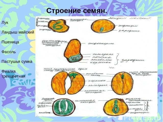 Строение семян. Лук Ландыш майский Пшеница Фасоль Пастушья сумка Фиалка трехцветная