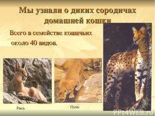 Мы узнали о диких сородичах домашней кошки Всего в семействе кошачьих около 40 в