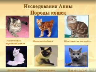 Исследования Анны Породы кошек Экзотическая короткошёрстная Японский бобтейл Шот