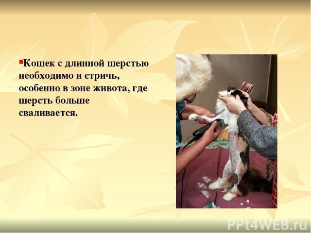 Кошек с длинной шерстью необходимо и стричь, особенно в зоне живота, где шерсть больше сваливается.