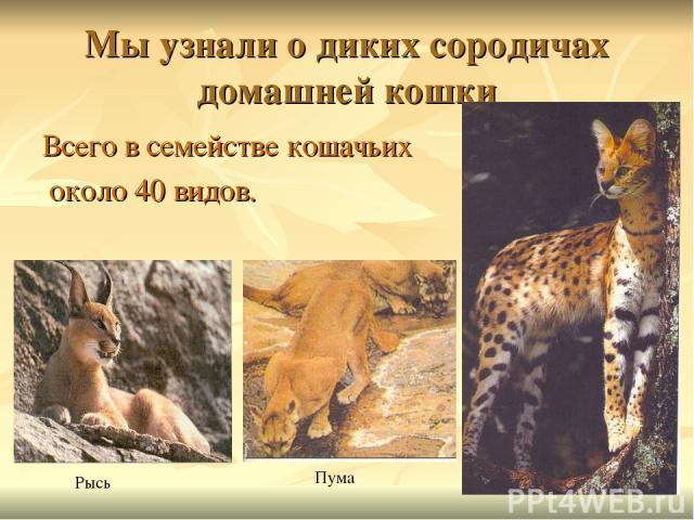 Мы узнали о диких сородичах домашней кошки Всего в семействе кошачьих около 40 видов. Рысь Пума