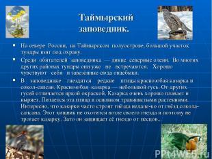 Таймырский заповедник. На севере России, на Таймырском полуострове, большой учас