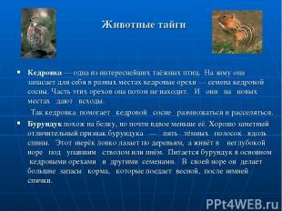 Животные тайги Кедровка — одна из интереснейших таёжных птиц. На зиму она запаса