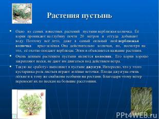 Растения пустынь Одно из самых известных растений пустыни верблюжья колючка. Её