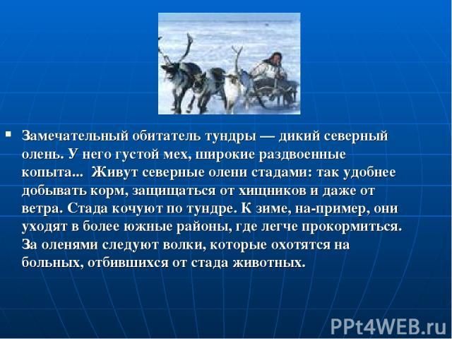 Замечательный обитатель тундры — дикий северный олень. У него густой мех, широкие раздвоенные копыта... Живут северные олени стадами: так удобнее добывать корм, защищаться от хищников и даже от ветра. Стада кочуют по тундре. К зиме, на пример, они у…