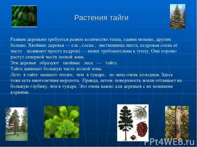 Растения тайги Разным деревьям требуется разное количество тепла, одним меньше, другим больше. Хвойные деревья — ель , сосна , лиственница пихта, кедровая сосна её часто называют просто кедром) — менее требовательны к теплу. Они хорошо растут северн…