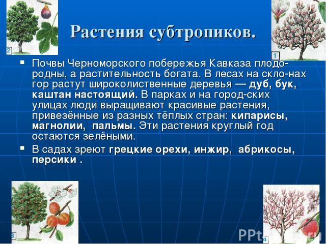 Растения субтропиков. Почвы Черноморского побережья Кавказа плодо родны, а растительность богата. В лесах на скло нах гор растут широколиственные деревья — дуб, бук, каштан настоящий. В парках и на город ских улицах люди выращивают красивые растения…