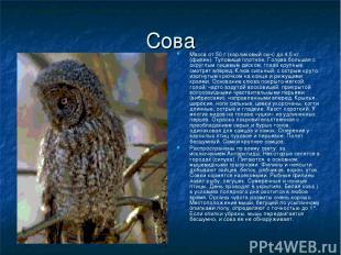 Сова Масса от 50 г (карликовый сыч) до 4,5 кг (филин). Туловище плотное. Голова