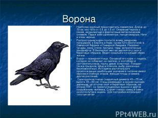 Ворона Наиболее крупный представитель семейства. Длина до 70 см; вес тела от 0,8