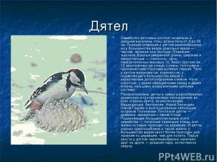 Дятел Семейство дятловых состоит из мелких и средней величины птиц: длина тела о