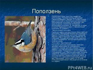 Поползень ПОПОЛЗНИ (Sitta), род птиц семейства поползневых. Распространены в Евр
