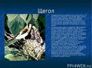 Щегол Размером меньше воробья (длина тела около 12 см). Окраска взрослых птиц яр
