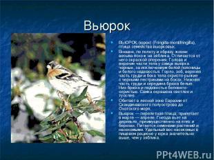 Вьюрок ВЬЮРОК (юрок) (Fringilla montifringilla), птица семейства вьюрковых. Внеш