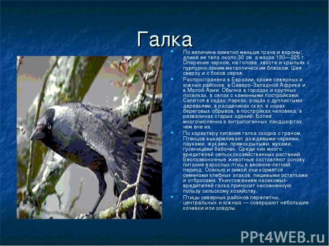 Галка По величине заметно меньше грача и вороны; длина ее тела около 30 см, а масса 130—225 г. Оперение черное, на голове, хвосте и крыльях с пурпурно-синим металлическим блеском. Шея сверху и с боков серая. Распространена в Евразии, кроме северных …