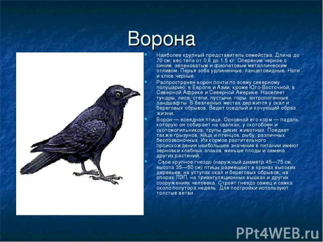 Ворона Наиболее крупный представитель семейства. Длина до 70 см; вес тела от 0,8 до 1,5 кг. Оперение черное с синим, зеленоватым и фиолетовым металлическим отливом. Перья зоба удлиненные, ланцетовидные. Ноги и клюв черные. Распространен ворон почти …