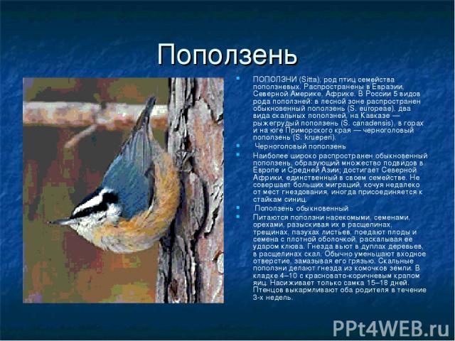 Поползень ПОПОЛЗНИ (Sitta), род птиц семейства поползневых. Распространены в Евразии, Северной Америке, Африке. В России 5 видов рода поползней: в лесной зоне распространен обыкновенный поползень (S. europeae), два вида скальных поползней, на Кавказ…