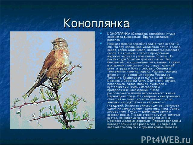 Коноплянка КОНОПЛЯНКА (Cannabina cannabina), птица семейства вьюрковых. Другое название — реполов. Немного мельче воробья (длина тела около 13 см). На лбу небольшое малиновое пятно, голова серая, спина коричневая, надхвостье розовато-серое. На крыль…