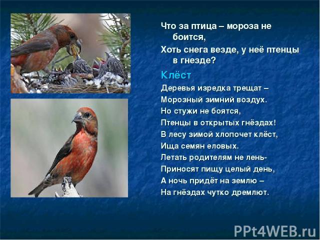 Что за птица – мороза не боится, Хоть снега везде, у неё птенцы в гнезде? Клёст Деревья изредка трещат – Морозный зимний воздух. Но стужи не боятся, Птенцы в открытых гнёздах! В лесу зимой хлопочет клёст, Ища семян еловых. Летать родителям не лень- …