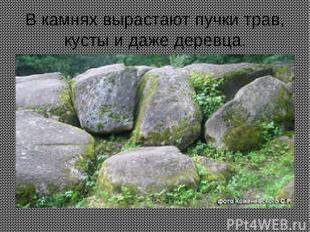 В камнях вырастают пучки трав, кусты и даже деревца.