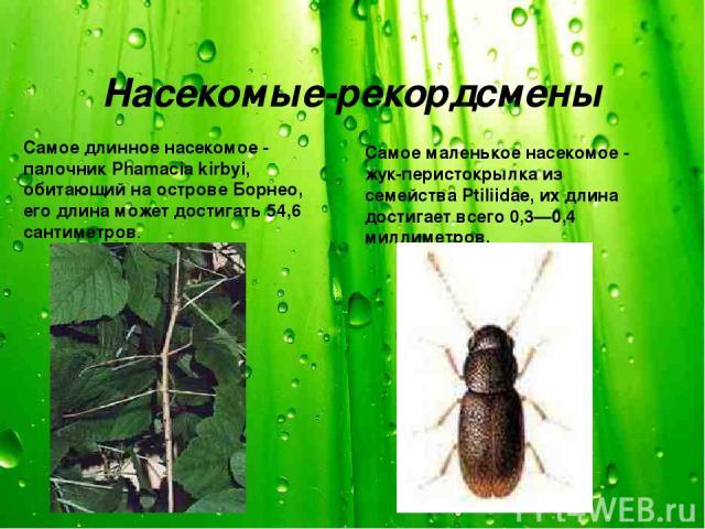 Насекомые-рекордсмены Самое длинное насекомое - палочник Phamacia kirbyi, обитающий на острове Борнео, его длина может достигать 54,6 сантиметров. Самое маленькое насекомое - жук-перистокрылка из семейства Ptiliidae, их длина достигает всего 0,3—0,4…