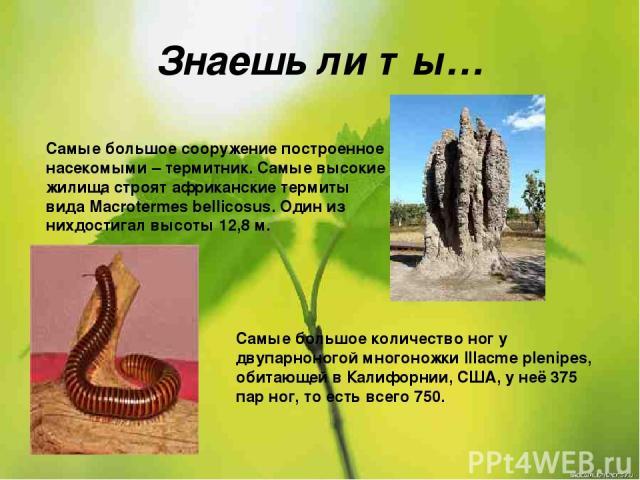 Знаешь ли ты… Самые большое сооружение построенное насекомыми – термитник. Самые высокие жилища строят африканские термиты вида Macrotermes bellicosus. Один из нихдостигал высоты 12,8 м. Самые большое количество ног у двупарноногой многоножки Illacm…