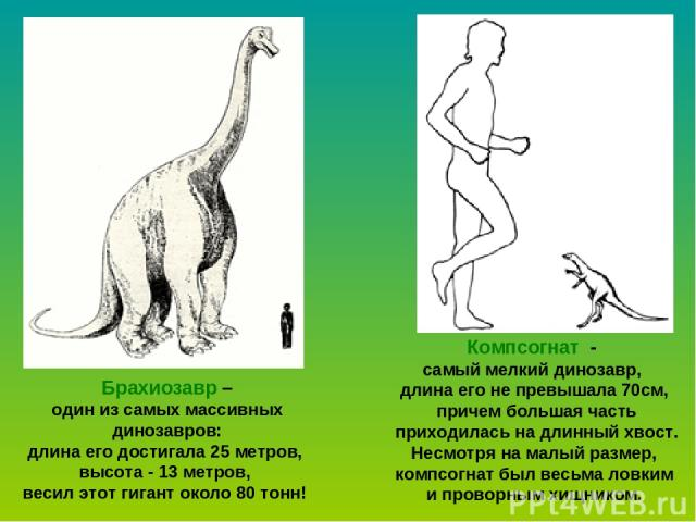 Брахиозавр – один из самых массивных динозавров: длина его достигала 25 метров, высота - 13 метров, весил этот гигант около 80 тонн! Компсогнат - самый мелкий динозавр, длина его не превышала 70см, причем большая часть приходилась на длинный хвост. …