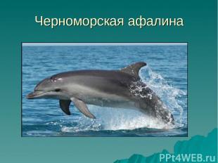 Черноморская афалина