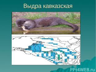 Выдра кавказская