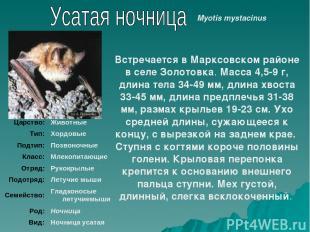 Встречается в Марксовском районе в селе Золотовка. Масса 4,5-9 г, длина тела 34-