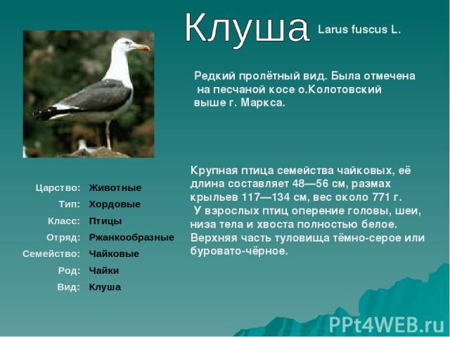 Larus fuscus L. Крупная птица семейства чайковых, её длина составляет 48—56см, размах крыльев 117—134см, вес около 771г. У взрослых птиц оперение головы, шеи, низа тела и хвоста полностью белое. Верхняя часть туловища тёмно-серое или буровато-чёр…