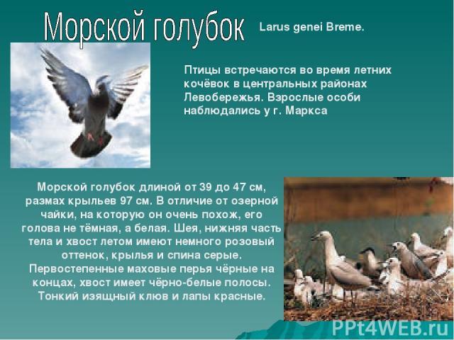 Larus genei Breme. Птицы встречаются во время летних кочёвок в центральных районах Левобережья. Взрослые особи наблюдались у г. Маркса Морской голубок длиной от 39 до 47 см, размах крыльев 97 см. В отличие от озерной чайки, на которую он очень похож…