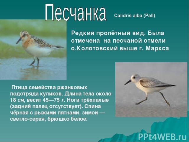 Calidris alba (Pall) Редкий пролётный вид. Была отмечена на песчаной отмели о.Колотовский выше г. Маркса Птица семейства ржанковых подотряда куликов. Длина тела около 18 см, весит 45—75 г. Ноги трёхпалые (задний палец отсутствует). Спина чёрная с ры…