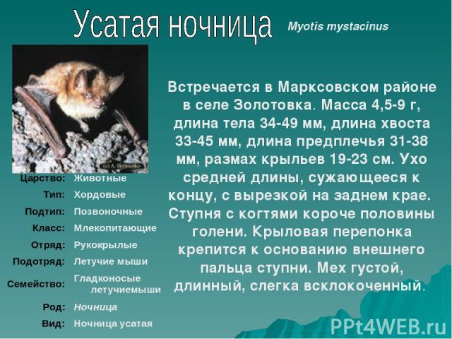 Встречается в Марксовском районе в селе Золотовка. Масса 4,5-9 г, длина тела 34-49 мм, длина хвоста 33-45 мм, длина предплечья 31-38 мм, размах крыльев 19-23 см. Ухо средней длины, сужающееся к концу, с вырезкой на заднем крае. Ступня с когтями коро…