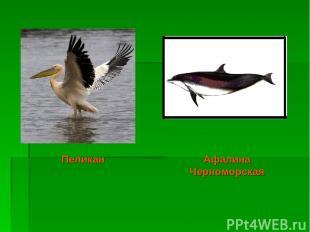 Афалина Черноморская Пеликан