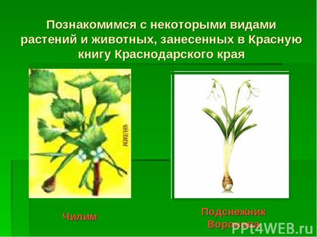 Познакомимся с некоторыми видами растений и животных, занесенных в Красную книгу Краснодарского края Чилим Подснежник Воронова