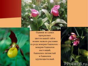Одними из самых прекрасных цветов нашей тайги можно назвать растения из рода вен