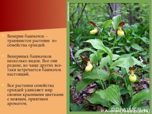 Венерин башмачок – травянистое растение из семейства орхидей. Венериных башмачко