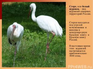 Стерх, или белый журавль - вид журавлей северных территорий России. Стерхи наход
