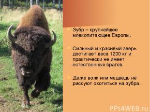 Зубр – крупнейшее млекопитающее Европы. Сильный и красивый зверь достигает веса