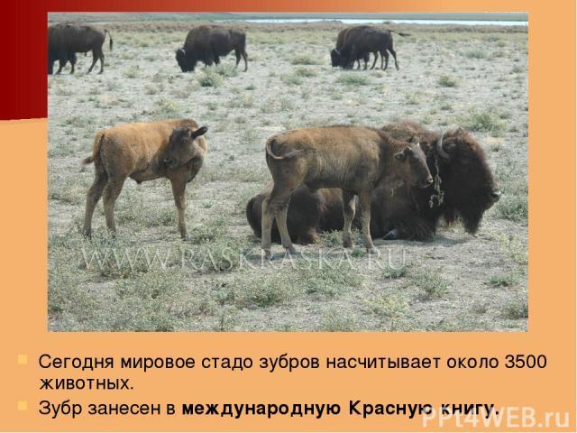 Сегодня мировое стадо зубров насчитывает около 3500 животных. Зубр занесен в международную Красную книгу.
