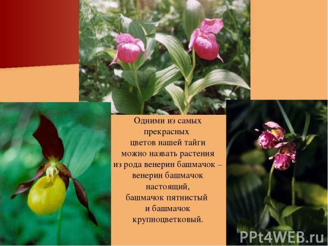 Одними из самых прекрасных цветов нашей тайги можно назвать растения из рода венерин башмачок – венерин башмачок настоящий, башмачок пятнистый и башмачок крупноцветковый.