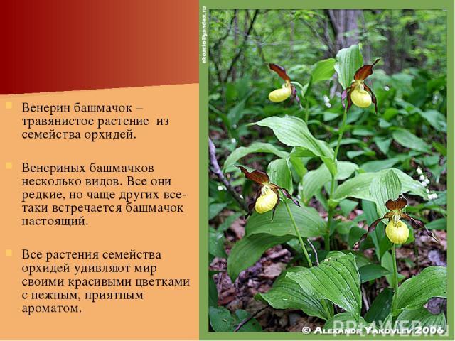 Венерин башмачок – травянистое растение из семейства орхидей. Венериных башмачков несколько видов. Все они редкие, но чаще других все-таки встречается башмачок настоящий. Все растения семейства орхидей удивляют мир своими красивыми цветками с нежным…