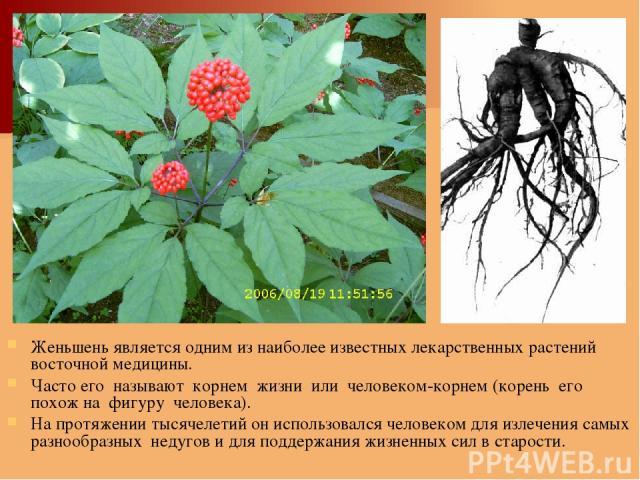 Женьшень является одним из наиболее известных лекарственных растений восточной медицины. Часто его называют корнем жизни или человеком-корнем (корень его похож на фигуру человека). На протяжении тысячелетий он использовался человеком для излечения с…