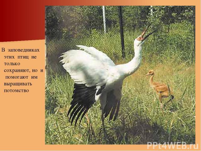 В заповедниках этих птиц не только сохраняют, но и помогают им выращивать потомство