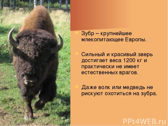 Зубр – крупнейшее млекопитающее Европы. Сильный и красивый зверь достигает веса 1200 кг и практически не имеет естественных врагов. Даже волк или медведь не рискуют охотиться на зубра.